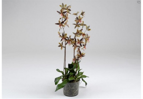 Orchidee Gm Oncidium Tigree  AMADEUS