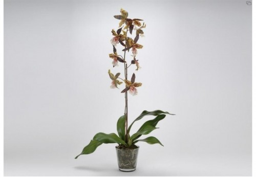 Orch Oncidium Royale Pot Pm Jm AMADEUS