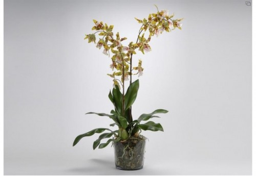 Orch Oncidium Royale Pot Mm Ja AMADEUS
