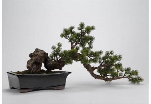 Bonsai Pin Du Japon Tordu Ve AMADEUS