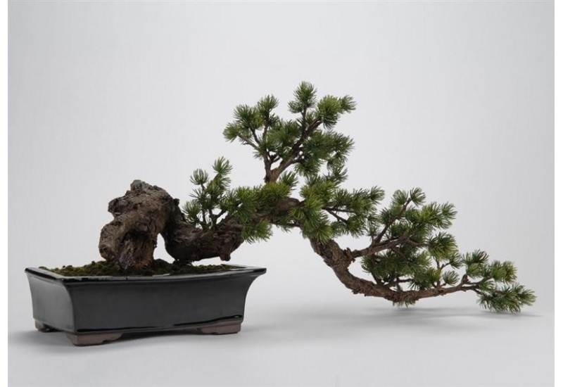 Bonsai Pin Du Japon Tordu Ve