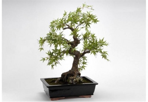 Bonsai Erable Du Japon H74 Ve AMADEUS
